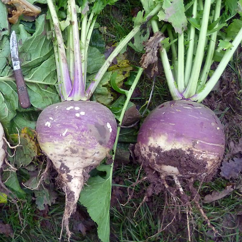 Stubble Turnip